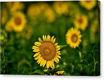 Sunflower Summer Canvas Print by Christopher L Nelson