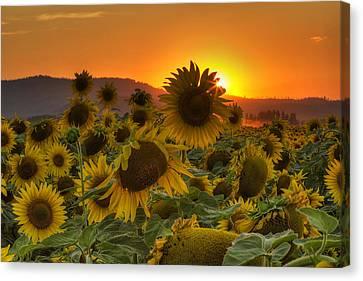 Sunflower Sun Rays Canvas Print by Mark Kiver