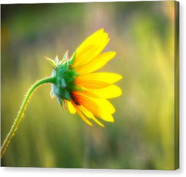 Sunflower Sunrise 6 Canvas Print