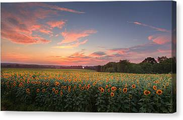 Sunflower Sunset Canvas Print by Bill Wakeley