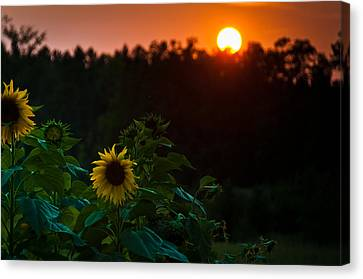 Canvas Print featuring the photograph Sunflower Sunset by Cheryl Baxter