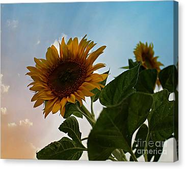 Sunflower Sunset Canvas Print by Michelle Wolff