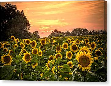 Canvas Print featuring the photograph Sunflower Sunset by Steven Bateson