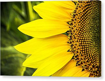 Sunflower Sunshine Canvas Print by Steven Bateson