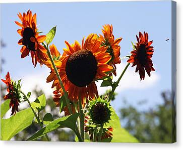 Sunflower Symphony Canvas Print by Karen Wiles