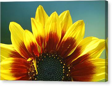 Canvas Print featuring the photograph Sunflower by Tam Ryan