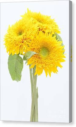 Sunflower Trio Canvas Print by Anne Gilbert