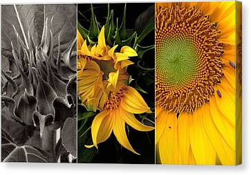 Sunflower-triptych Canvas Print by Don Spenner
