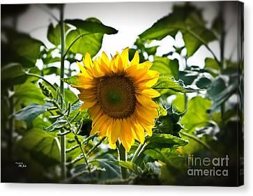 Sunflower Vignette Edges Canvas Print by Ms Judi