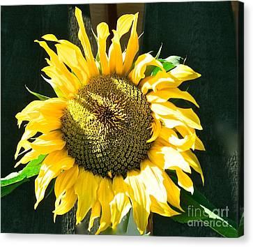 Sunflower Canvas Print by Virginia Ann Hemingson