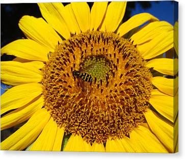 Sunflower Visitor Series 1 Canvas Print