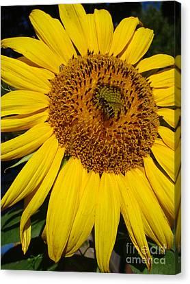 Sunflower Visitor Series 5 Canvas Print