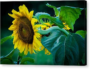 Canvas Print featuring the photograph Sunflower by Wayne Meyer