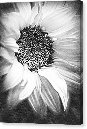 Sunflower White And Black Canvas Print by Tony Rubino