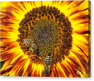 Sunflower With Bees Canvas Print by Matthias Hauser