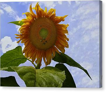 Sunflower With Busy Bees Canvas Print by Chris Flees