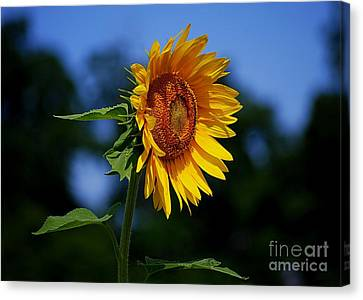 Sunflower With Honeybee Canvas Print by Catherine Sherman