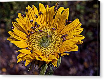 Ladybird Canvas Print - Sunflower With Ladybugs by Garry Gay