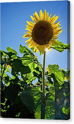 Sunflower With Sun Canvas Print