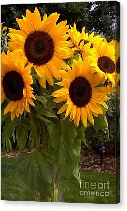 Canvas Print featuring the photograph Sunflowers by Arlene Carmel