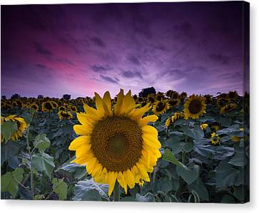 Sunflowers Canvas Print by Cale Best