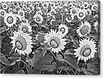 Field Of Crops Canvas Print - Sunflowers by Elena Nosyreva