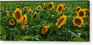 Sunflowers Galore Canvas Print by Bruce Bley