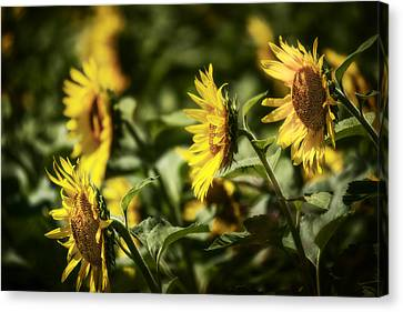 Canvas Print featuring the photograph Sunflowers In The Wind by Steven Sparks