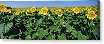 Sunflowers In A Field, U.s. Route 83 Canvas Print by Panoramic Images