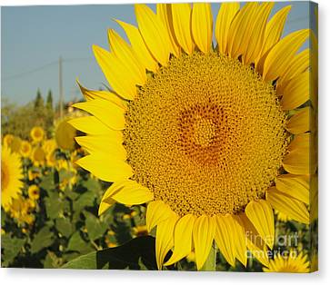 Sunflowers In Arezzo Canvas Print
