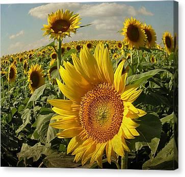 Kansas Sunflowers Canvas Print by Chris Berry