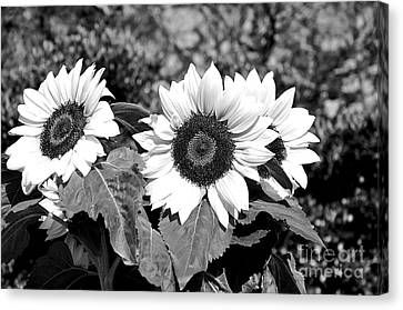 Sunflowers In Black And White Canvas Print by Kaye Menner