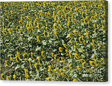 Sunflowers In Chianti Canvas Print by Sami Sarkis