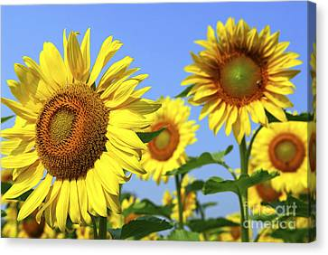 Sunflowers In Field Canvas Print by Elena Elisseeva