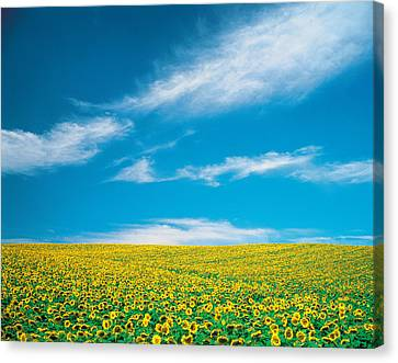 Sunflowers In Field Canvas Print by Panoramic Images