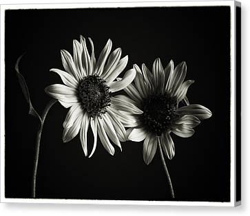 Sunflowers In Soft Light Canvas Print by Jesse Castellano