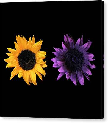 Guides Canvas Print - Sunflowers In Uv And Daylight by Science Photo Library