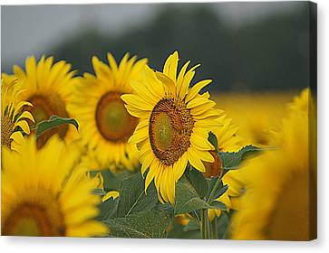 Canvas Print featuring the photograph Sunflowers by Kathy Churchman