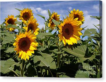 Sunflowers Canvas Print by Kerri Mortenson