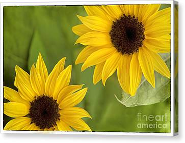 Sunflowers Canvas Print by Natalie Kinnear