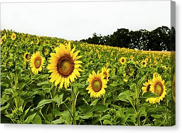 Sunflowers On A Hill Canvas Print by Christi Kraft