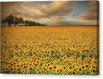 Sunflowers Canvas Print by Piotr Krol (bax)