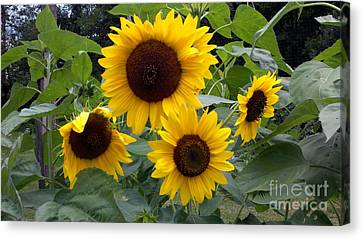 Canvas Print featuring the photograph Sunflowers by Polly Anna
