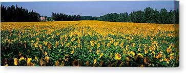 Sunflowers St Remy De Provence Provence Canvas Print by Panoramic Images