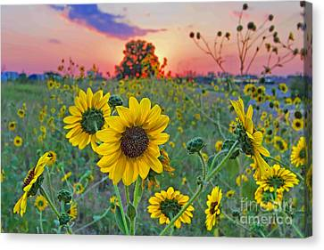 Sunflowers Sunset Canvas Print by Gary Holmes