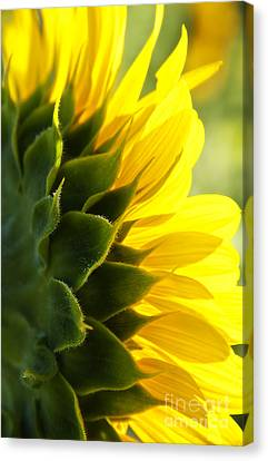Sunkissed Canvas Print
