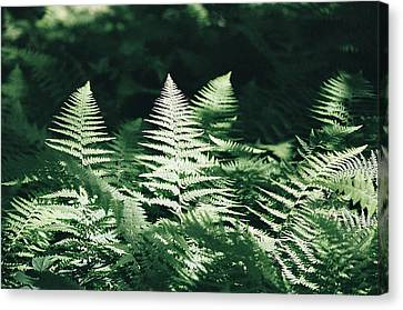 Canvas Print featuring the photograph Sunlight And Shadows-algonquin Ferns by David Porteus