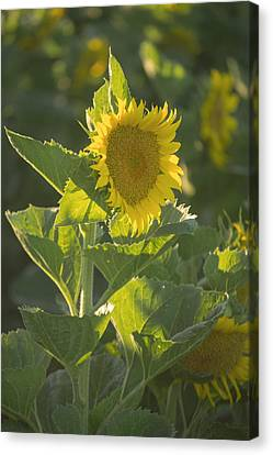 Sunlight And Sunflower 3 Canvas Print by Rima Biswas
