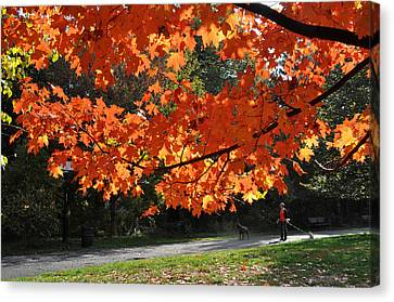 Sunlight On Red Maple Leaves Canvas Print by Diane Lent