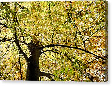 Sunlit Autumn Tree Canvas Print by Natalie Kinnear